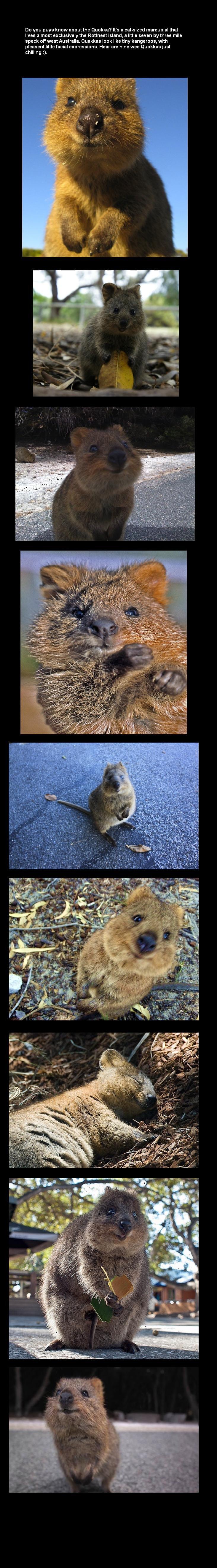 Quokka. I want one..