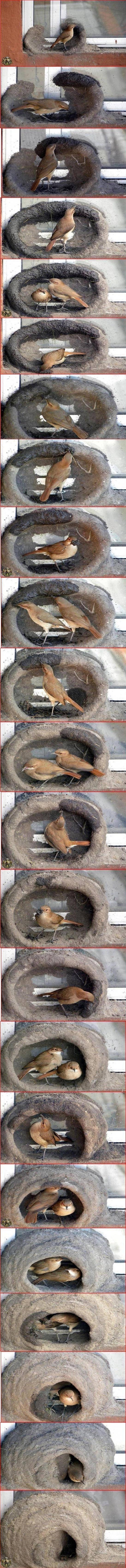 red oven birds building nest. .