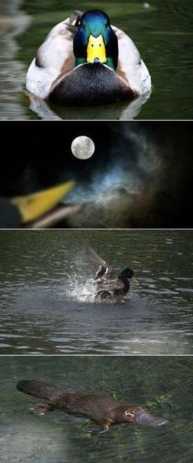story behind platypus'. .