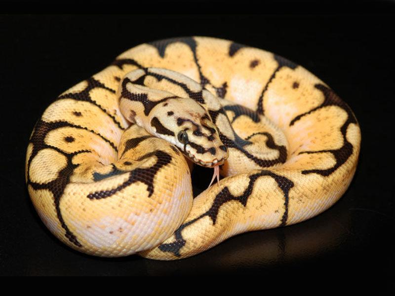Ball Python Morphs Comp