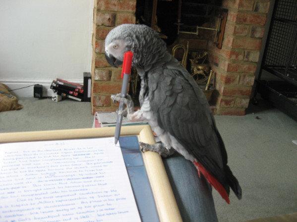 Essay about my pet parrot