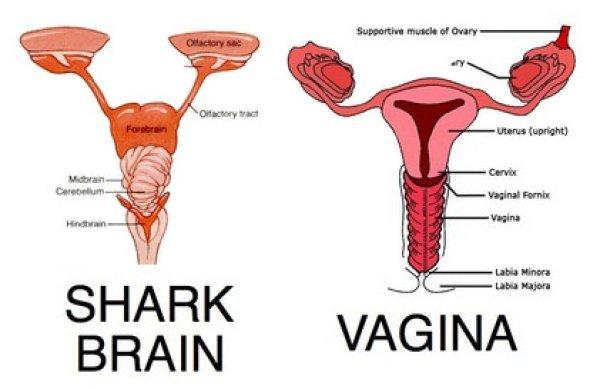 Shark brain vs vagina ccuart Gallery