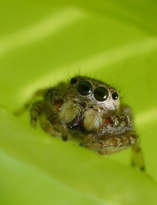 spider bros evil cousin in description