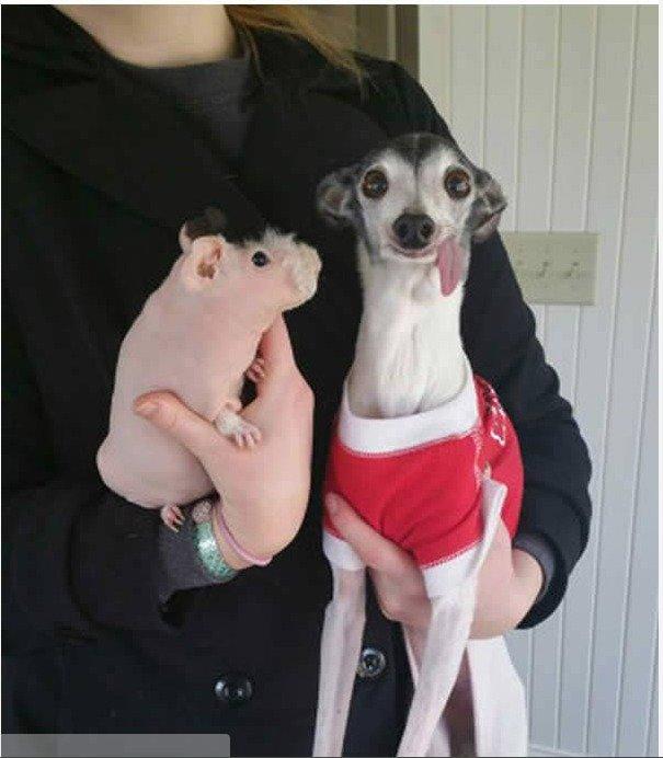 Zappa the Italian Greyhound